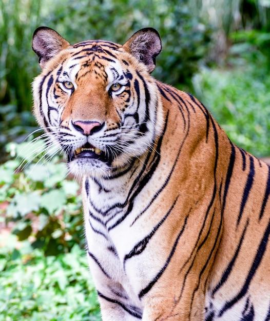 Portrait of amur tigers Premium Photo