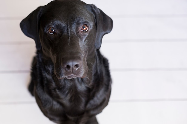 Portrait of a beautiful black labrador feeling happy and relaxed Premium Photo