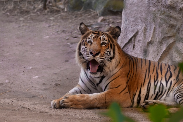 Portrait of a bengal tiger. Premium Photo