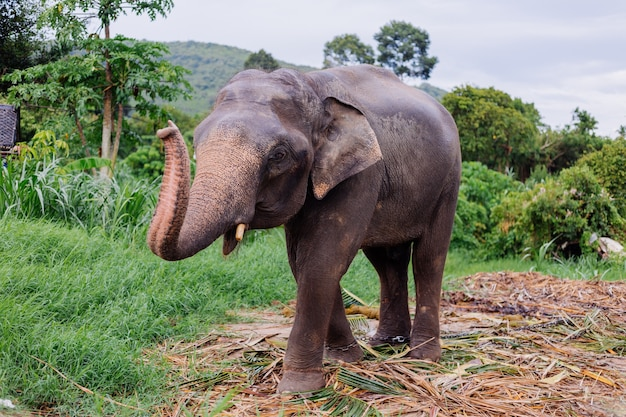 Portrait of beuatiful thai asian elephant stands on green field elephant with trimmed cutted tusks Free Photo