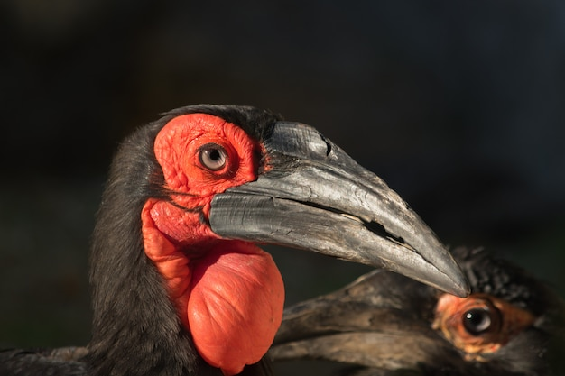 Portrait of bird with a big red bag under the beak and black background Premium Photo