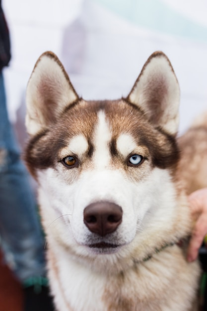 The portrait of a brown siberian husky dog with multi-colored eyes outdoors on Premium Photo
