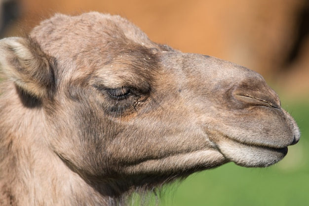 Portrait of a camel. Premium Photo