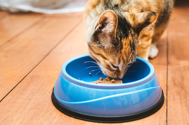 Portrait of a cat eating from a blue bowl on the floor Premium Photo