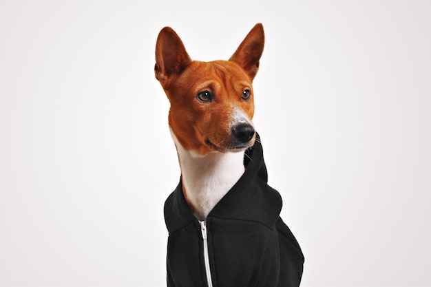 Portrait of curiously looking brown and white basenji dog in black zippered hoodie Free Photo