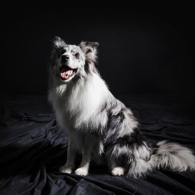 Ritratto di simpatico cane border collie Foto Gratuite