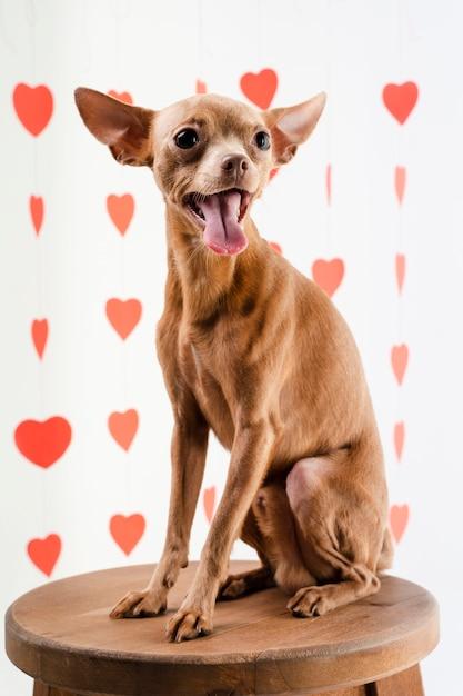 Ritratto di sorridere sveglio del cane della chihuahua Foto Gratuite