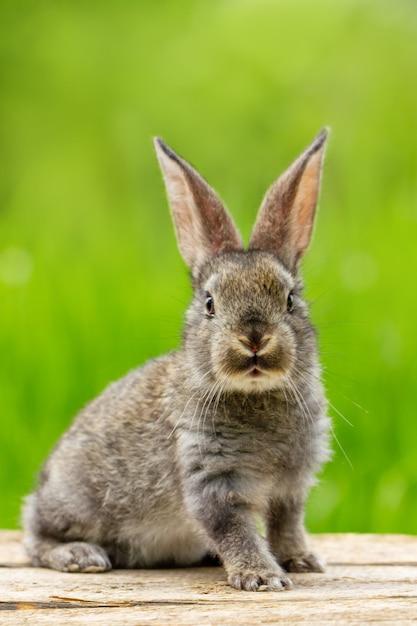 Ritratto di un simpatico coniglio grigio lanuginoso con le orecchie su un verde naturale Foto Gratuite