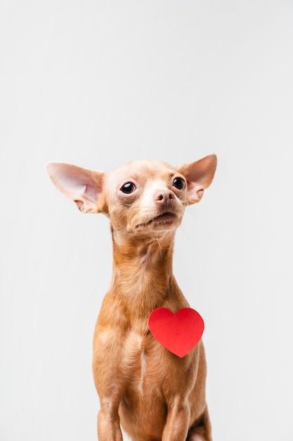 Ritratto di piccolo cane chihuahua carino Foto Gratuite