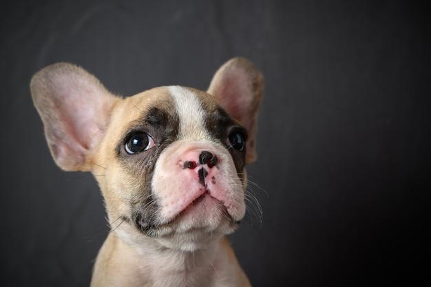 Portrait of cute little french bulldog Premium Photo