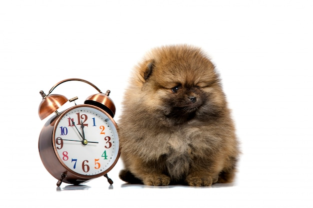 Portrait of a cute puppy with a clock, closeup, isolated Premium Photo
