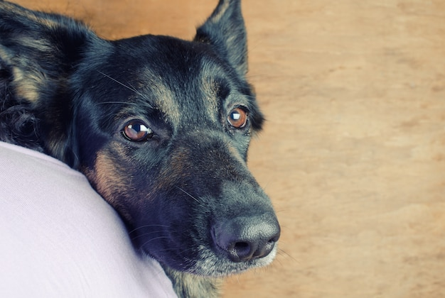 Portrait of a cute thoughtful german shepherd looking over the shoulder of its owner Premium Photo