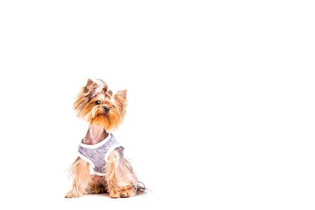Yorkshire Terrier com roupinha em fundo branco menores raças de cachorros