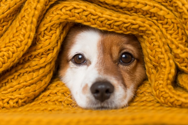 Portrait of a cute young small dog with a yellow scarf covering him Premium Photo