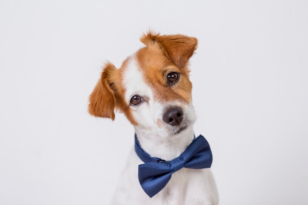 Portrait of a cute young small white dog wearing a modern blue bowtie. Premium Photo