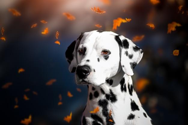 Portrait of a dalmatian dog in autumn leaf fall in the park. Premium Photo