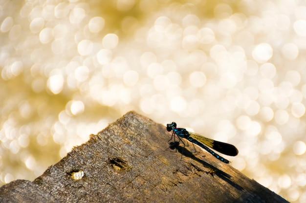 Portrait of damselfly - common blue jewel (rhinocypha perforata perforata) wood at waterfall Premium Photo