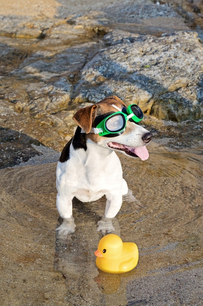 Portrait of dog in swimming glasses and flippers Premium Photo