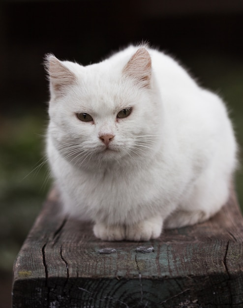 Premium Photo Portrait Of A Domestic Cat Of White Color With Big Eyes White Cat With A Pink Nose White Russian Breed Of Cats