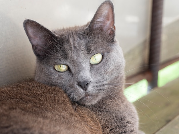 Premium Photo Portrait Of A Domestic Gray Cat With Yellow Eyes Of The Russian Blue Breed