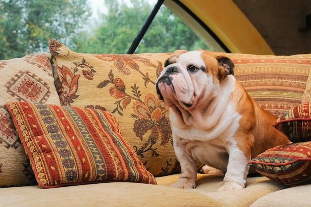 Portrait of english bulldog Premium Photo