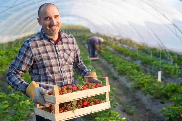 Ritratto di agricoltore che tiene la cassa piena di fragole frutta in serra Foto Gratuite