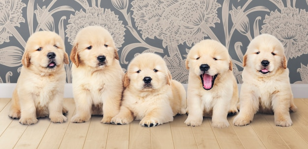 Portrait of five adorable golden retriever puppies Free Photo