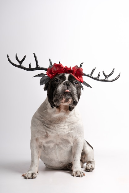 Portrait french bulldog with halloween deer antlers looking at camera with half tongue out on white Premium Photo