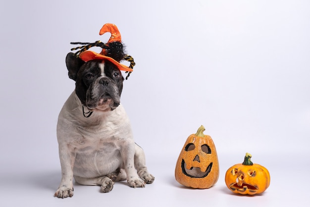 Portrait of french bulldog with halloween hat and pumpkins on white Premium Photo