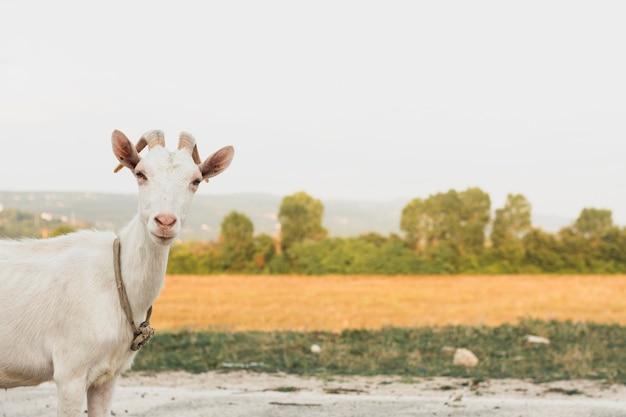 カメラ目線の肖像画のヤギ 無料写真