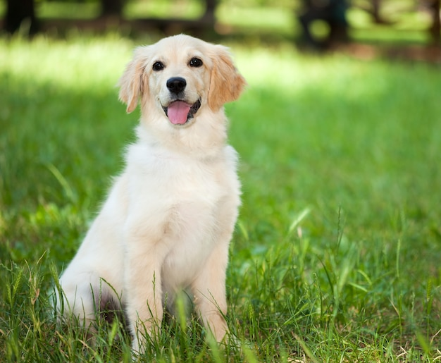 Portrait of a golden retriever laying down in the grass Premium Photo