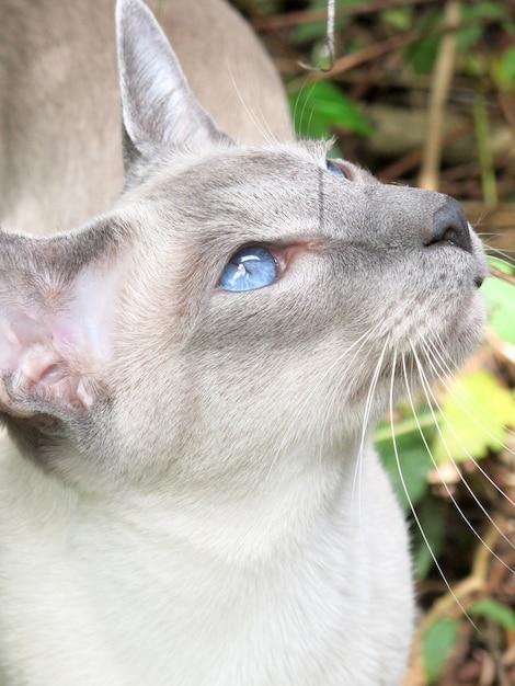 屋外の青い目を持つ肖像画灰色猫 Premium写真