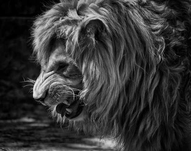 Portrait of a growling lion Premium Photo