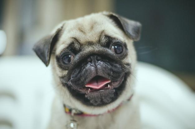 Portrait of handsome male emotion face of happy pug dog Premium Photo