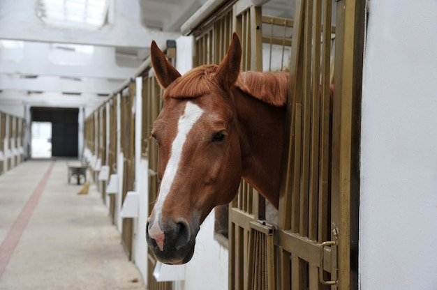 Portrait of  horse in stall box. Premium Photo