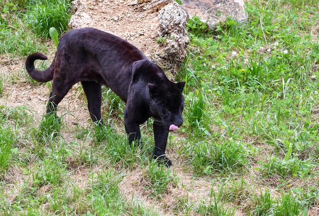 Portrait of a jaguar walking in the field Premium Photo