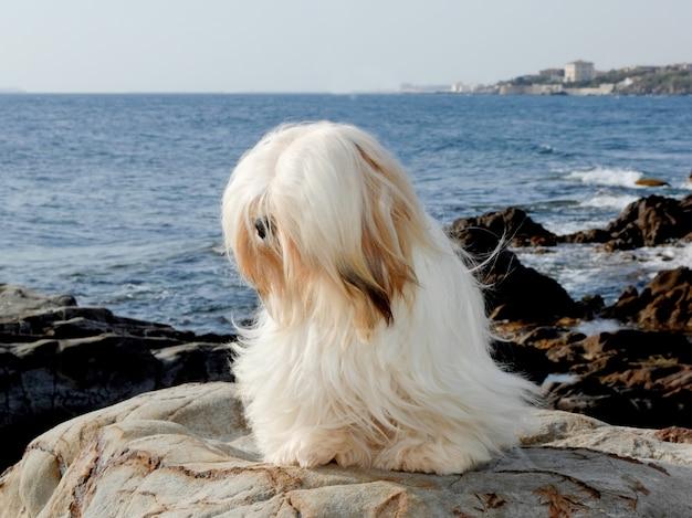 Portrait of lhasa apso dog Premium Photo