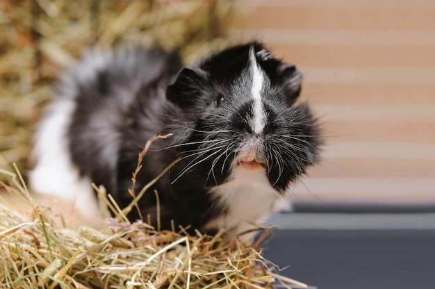 Premium Photo | Portrait of little black and white guinea pig