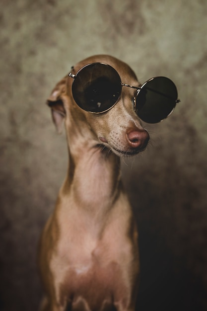 Portrait of little italian greyhound dog Premium Photo
