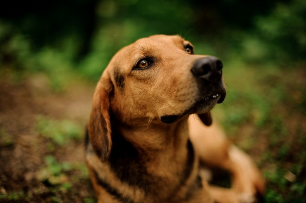 Portrait of lying brown dog in the forest Premium Photo