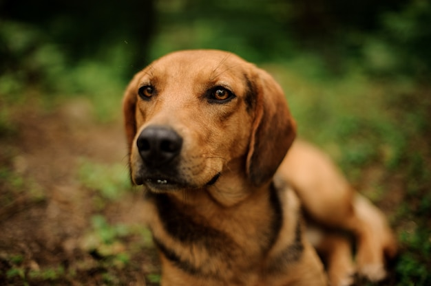 Portrait of lying brown dog in forest Premium Photo