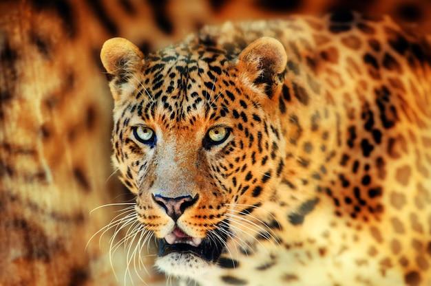 美しいヒョウの肖像画 Premium写真
