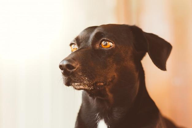 Портрет великолепной и доброй черной собаки. фон размыт изображение профиля Premium Фотографии
