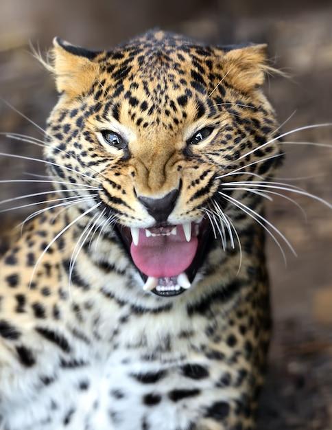 野生のアフリカのサバンナのヒョウの肖像画 Premium写真