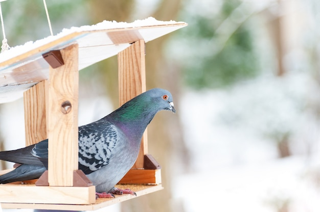 Портрет голубя в кормушке Premium Фотографии