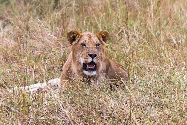 若いライオンケニアアフリカの草の上で休んでいるの肖像画 Premium写真
