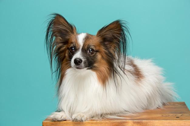 Портрет маленького зевая щенка папийона Бесплатные Фотографии