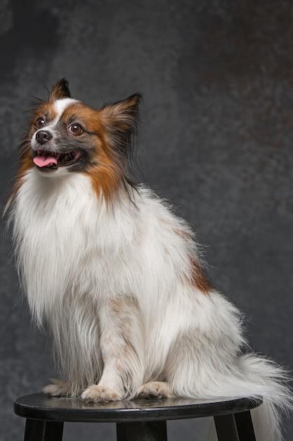 小さなあくびの子犬パピヨンの肖像画 無料写真