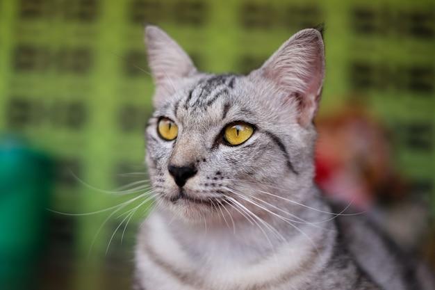 縞模様の子猫、黄色い目の猫の肖像画。何かを見てください。 Premium写真