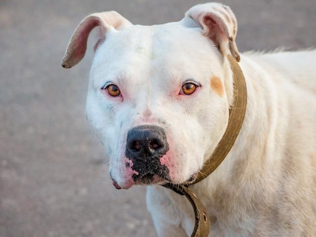 Портрет крупного плана pitbull породы белой собаки на расплывчатой предпосылке Premium Фотографии